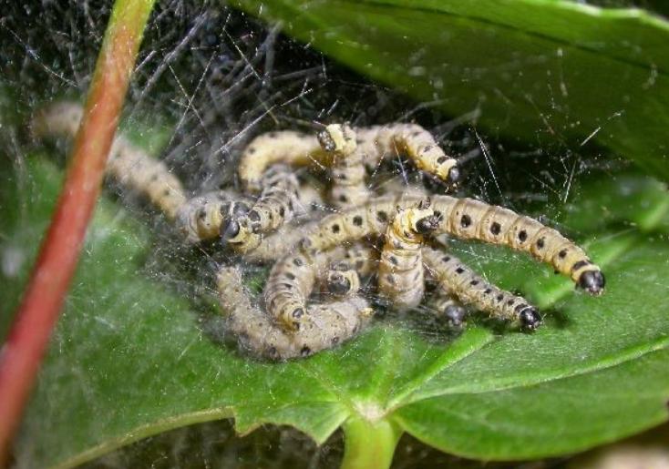 На деревьях можно обнаружить целые клубки гусениц, если не бороться с ними