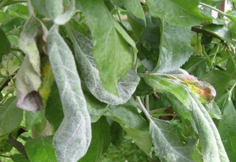 Если листья скручиваются и покрываются белесым налетом, то скорее всего они поражены мучнистой росой