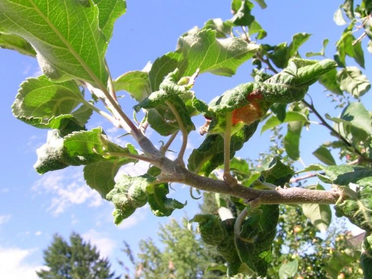Чаще всего проблемы начинают проявляться на молодых побегах, а потом распространяются по всей яблоне