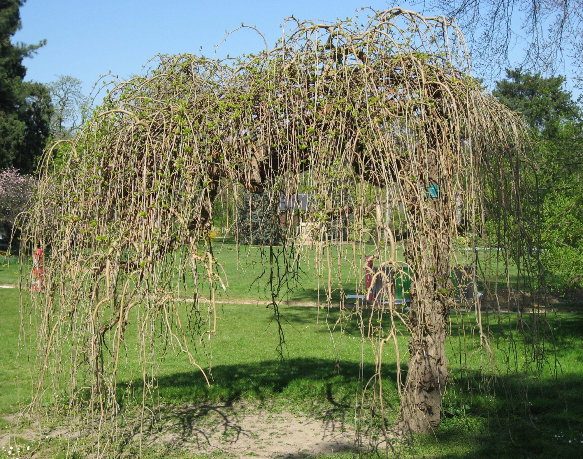 Весной рекомендуется проводить обрезку, чтобы ветки не касались земли