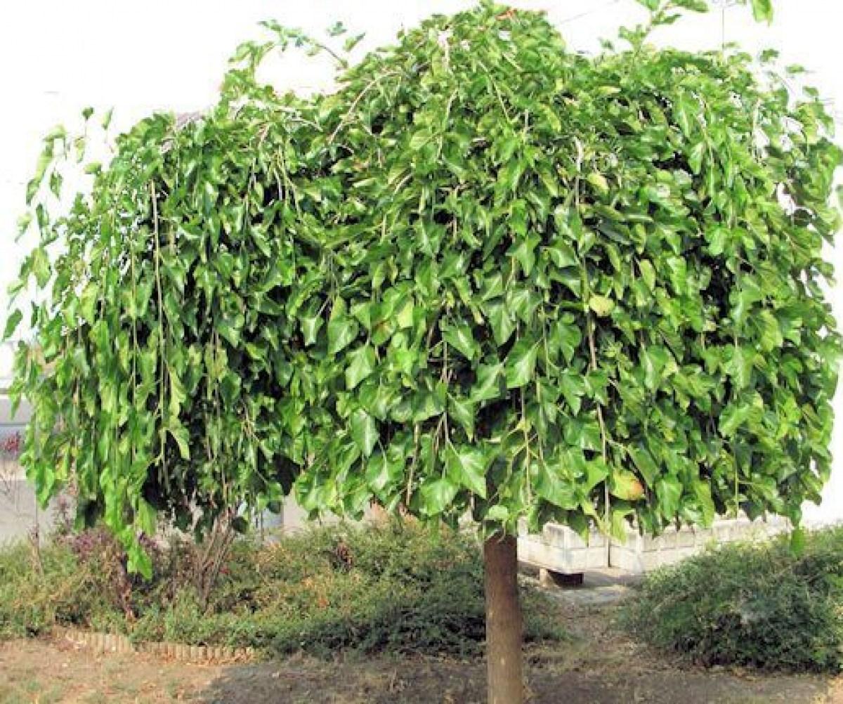 Плакучая шелковица — настоящее украшение приусадебного участка, дающее хороший урожай сладких ягод