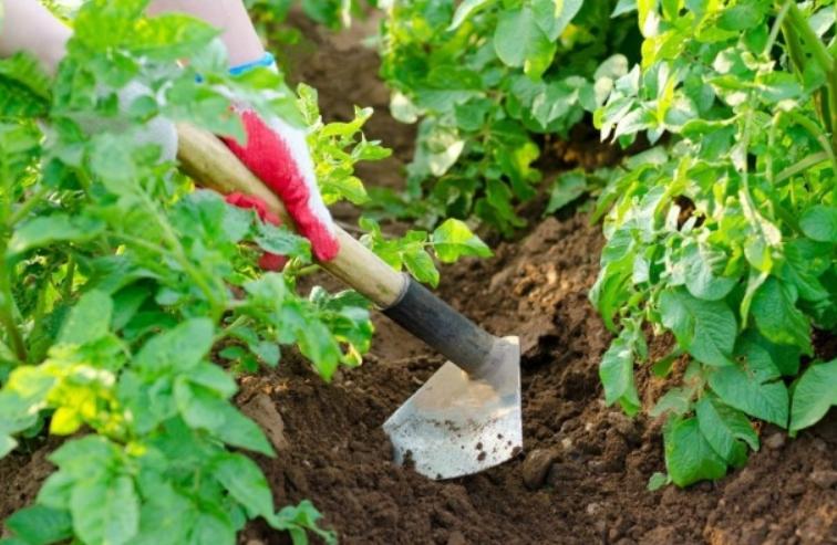 Все работы выполняются своевременно и оперативно, чтобы обеспечить наиболее благоприятные условия и сократить срок созревания картофеля