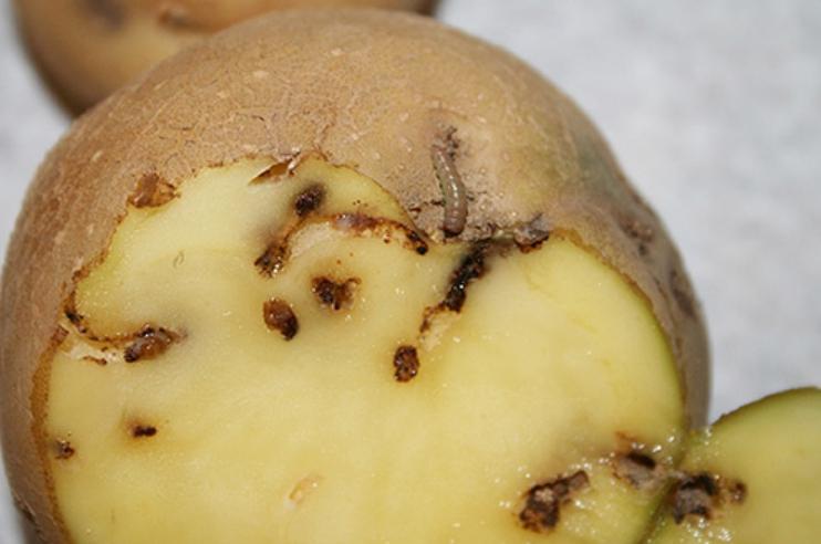 Личинки моли вгрызаются в клубни на глубину до 3 см