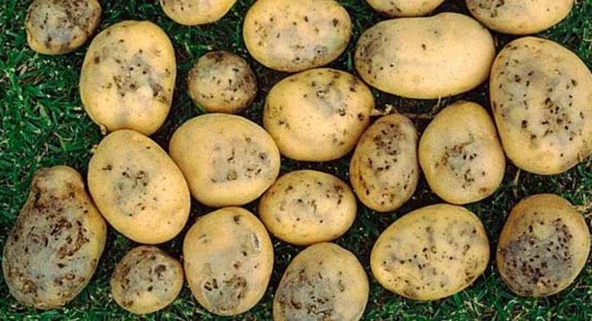 Поврежденный картофель начинает загнивать очень быстро