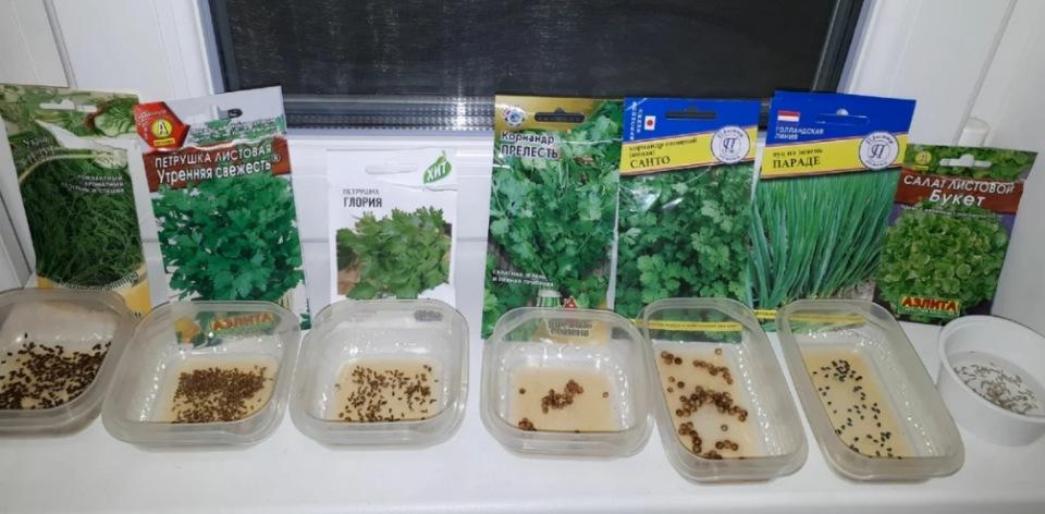 Многие сорта салатных культур перед посадкой требуют подготовки семян