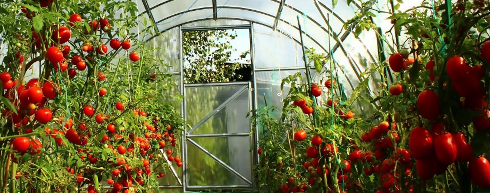 томат в теплице картинки если обращении будет