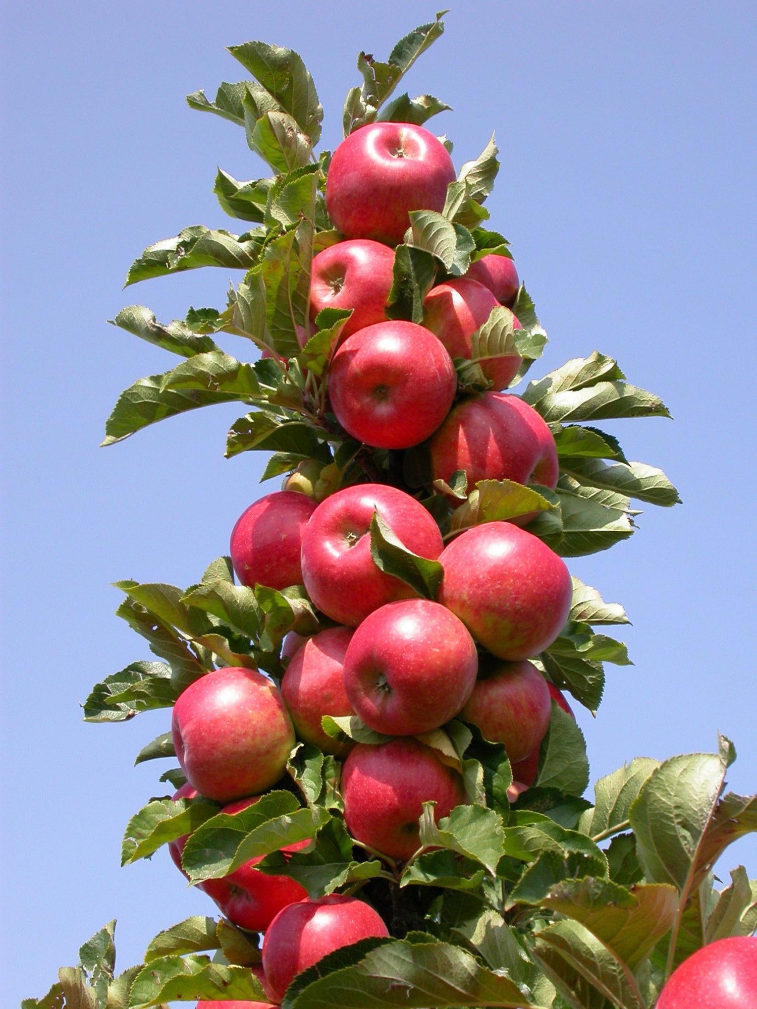 В условиях короткого и холодного лета важно чтобы сорт яблони был устойчив распространенным заболеваниям плодовых деревьев