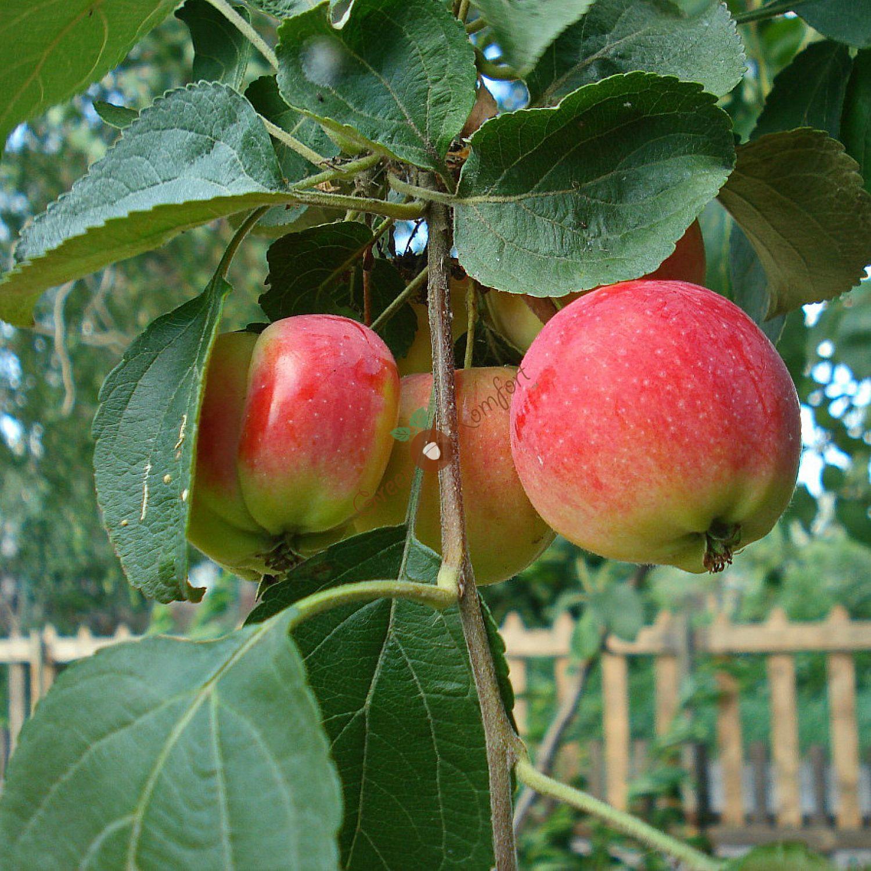 Сибирский сувенир сорт яблони фото
