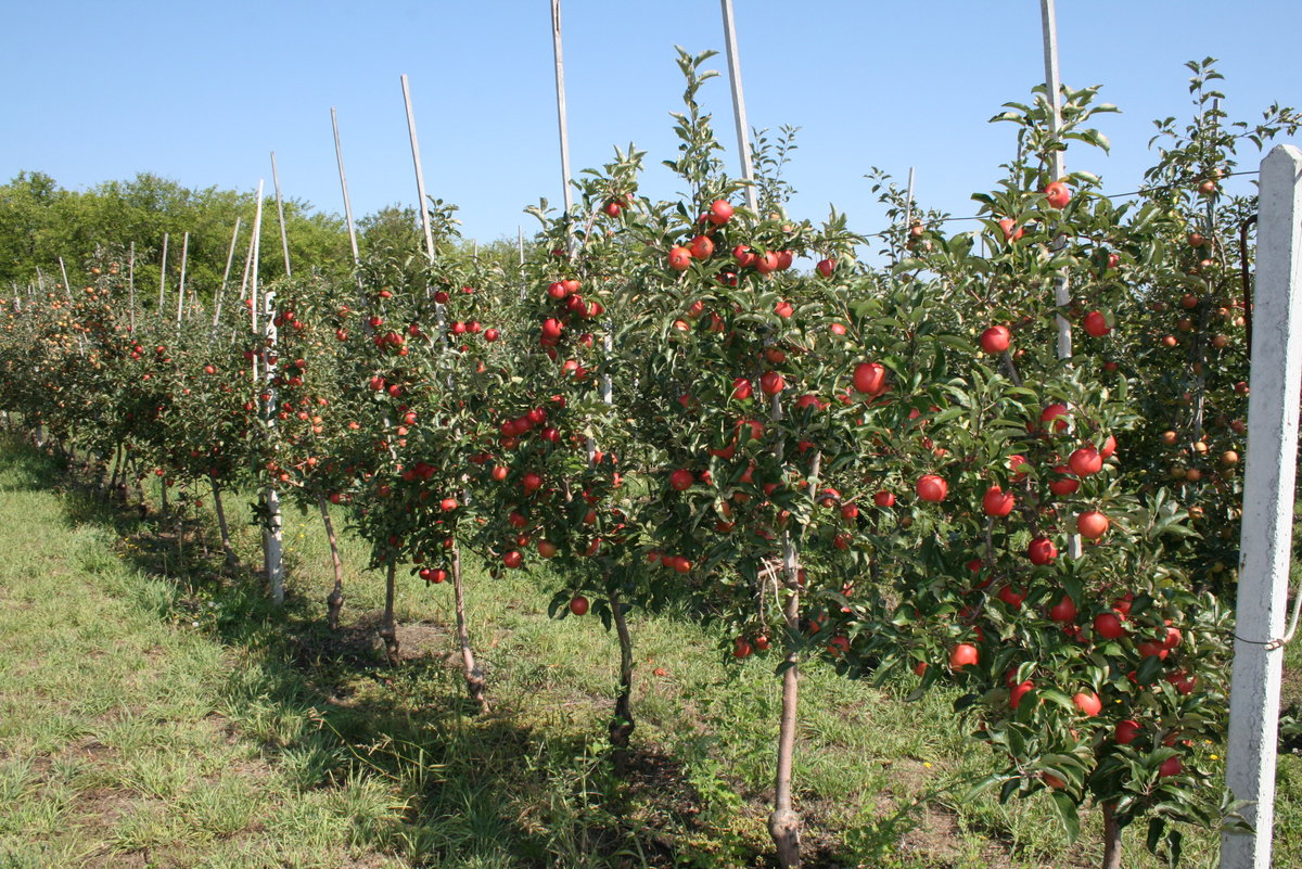 Из-за небольшой высоты ухаживать за яблонями-карликами намного проще