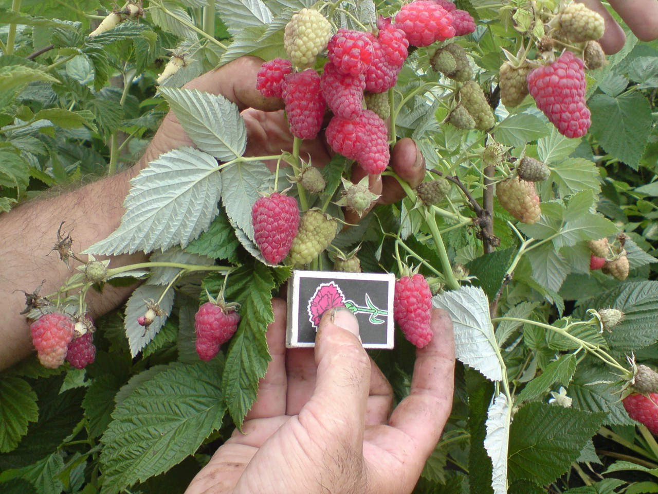 У сорта Таруса очень крупные ягоды с сильным ароматом малины