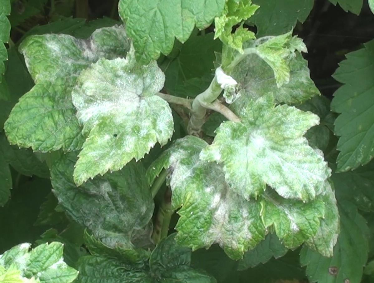 Первые признаки болезни — легкий белый налет, покрывающий верхнюю часть листьев