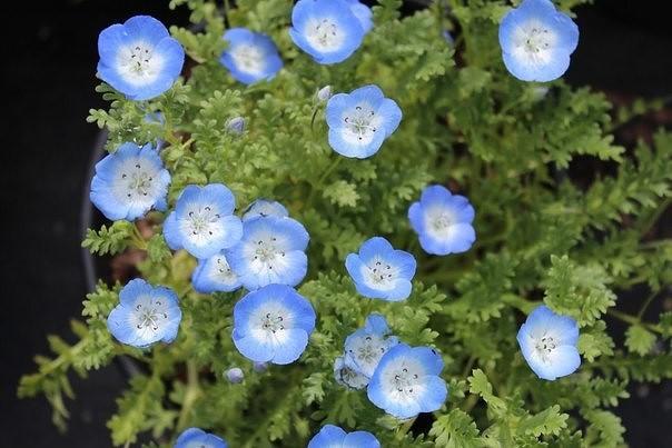 Словно голубые глазки цветы Немофилы менциса