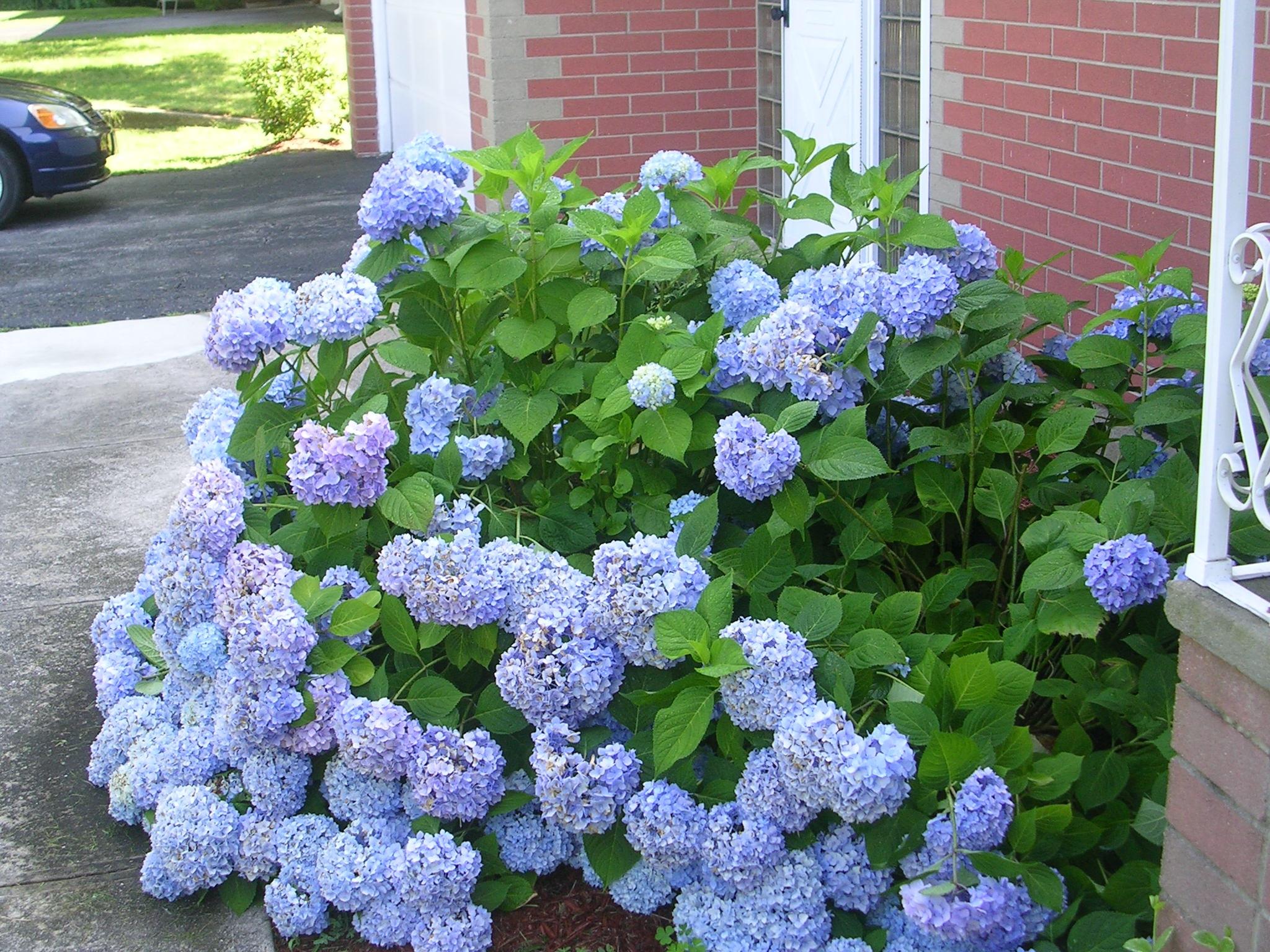 Обильное цветение садовой гортензии