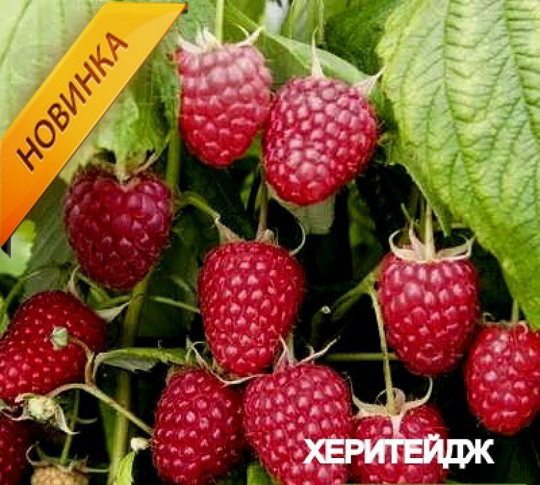 Свой большой размер ягоды Поланы унаследовали от родительского сорта Херитейдж