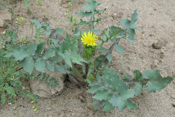 Осот настолько неприхотлив и живуч, что может расти на пустырях и в сухой почве