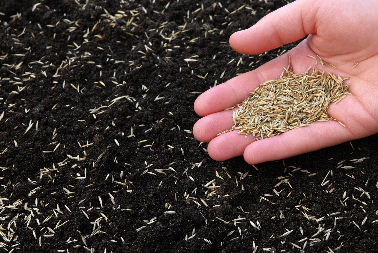 Чтобы газон был однородным, без проплешин, семена травы сеют вдоль и поперек
