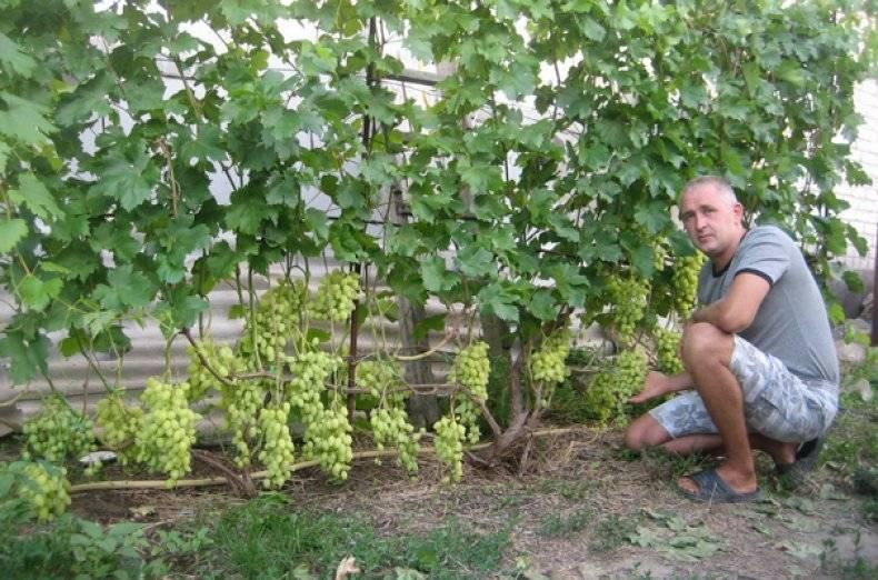 При хорошем уходе урожайность винограда в Московской области не многим ниже, чем в южных регионах