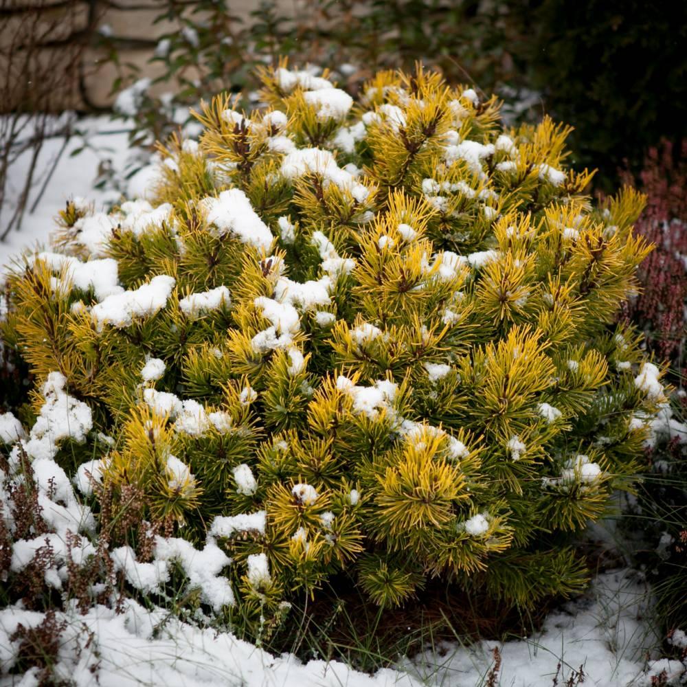 Теплый, янтарный цвет хвои сосны сорной Winter Gold на фоне ослепительно белого снега – восхитительное зрелище
