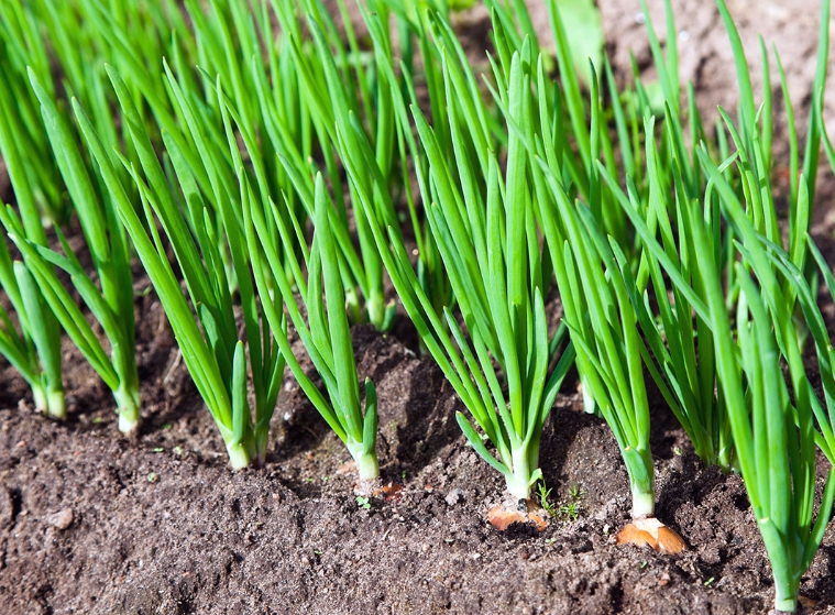 Чтобы лук рос здоровым и не желтел, нужно обеспечивать его питательными веществами и защищать от болезней и вредителей