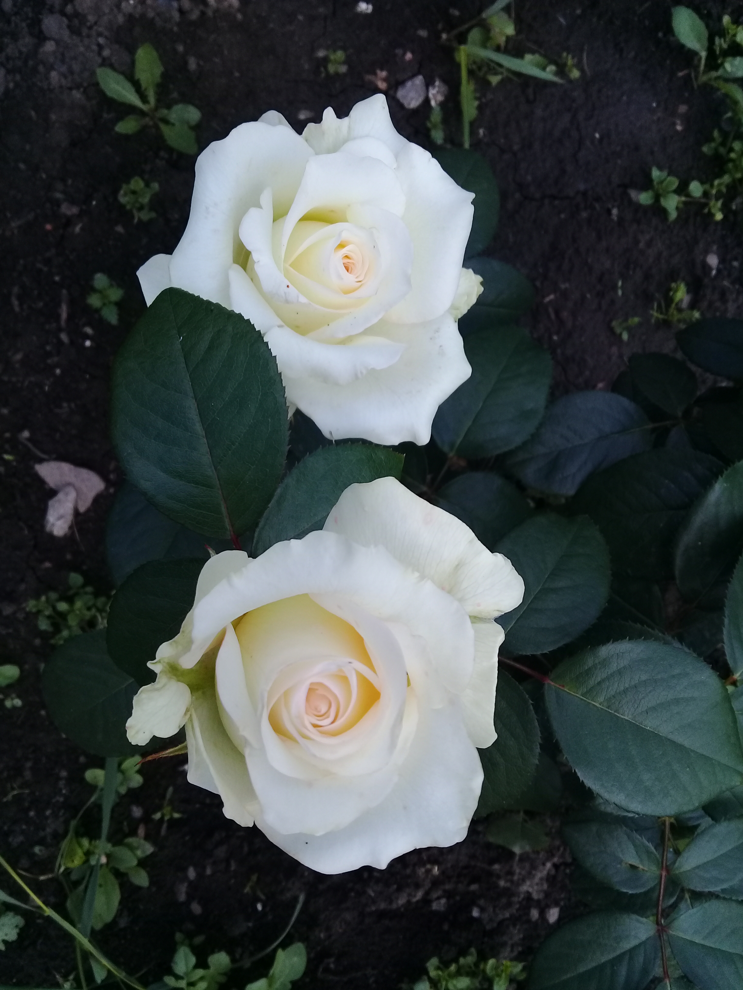 Сорта белых роз картинки