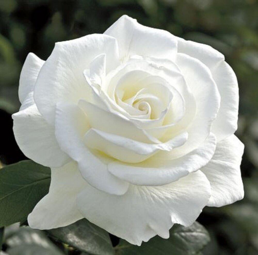 Белые розы лучшие сорта: посадка и уход