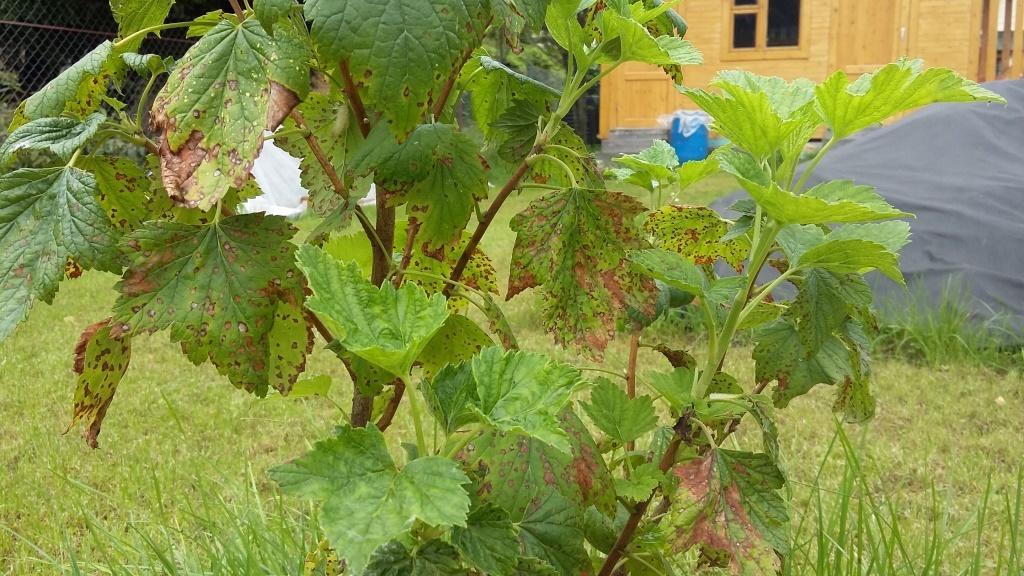 При появлении вредителей кусты смородины начинают вянуть, могут погибнуть