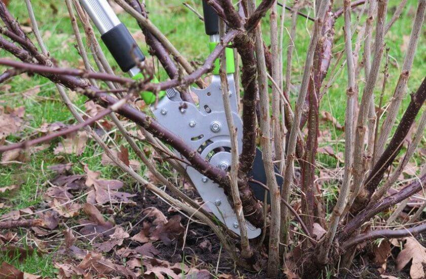 При сильном поражении придется обрезать смородину под корень