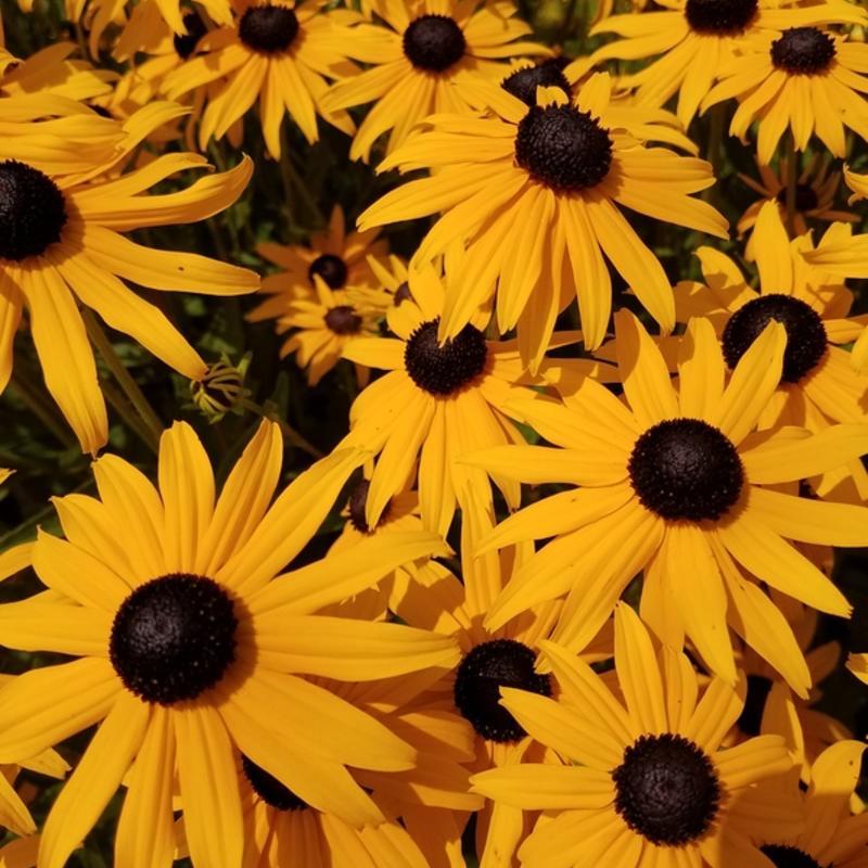 Ценность заключается в непрерывном цветении с начала июля до поздней осени