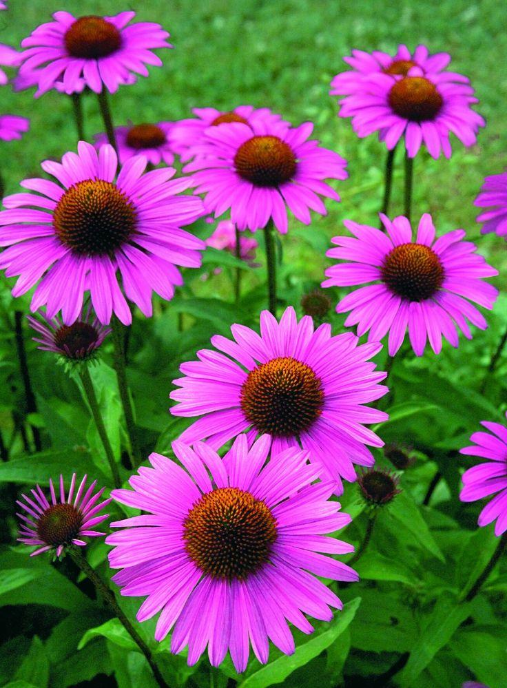 Цветет с середины июля до заморозков
