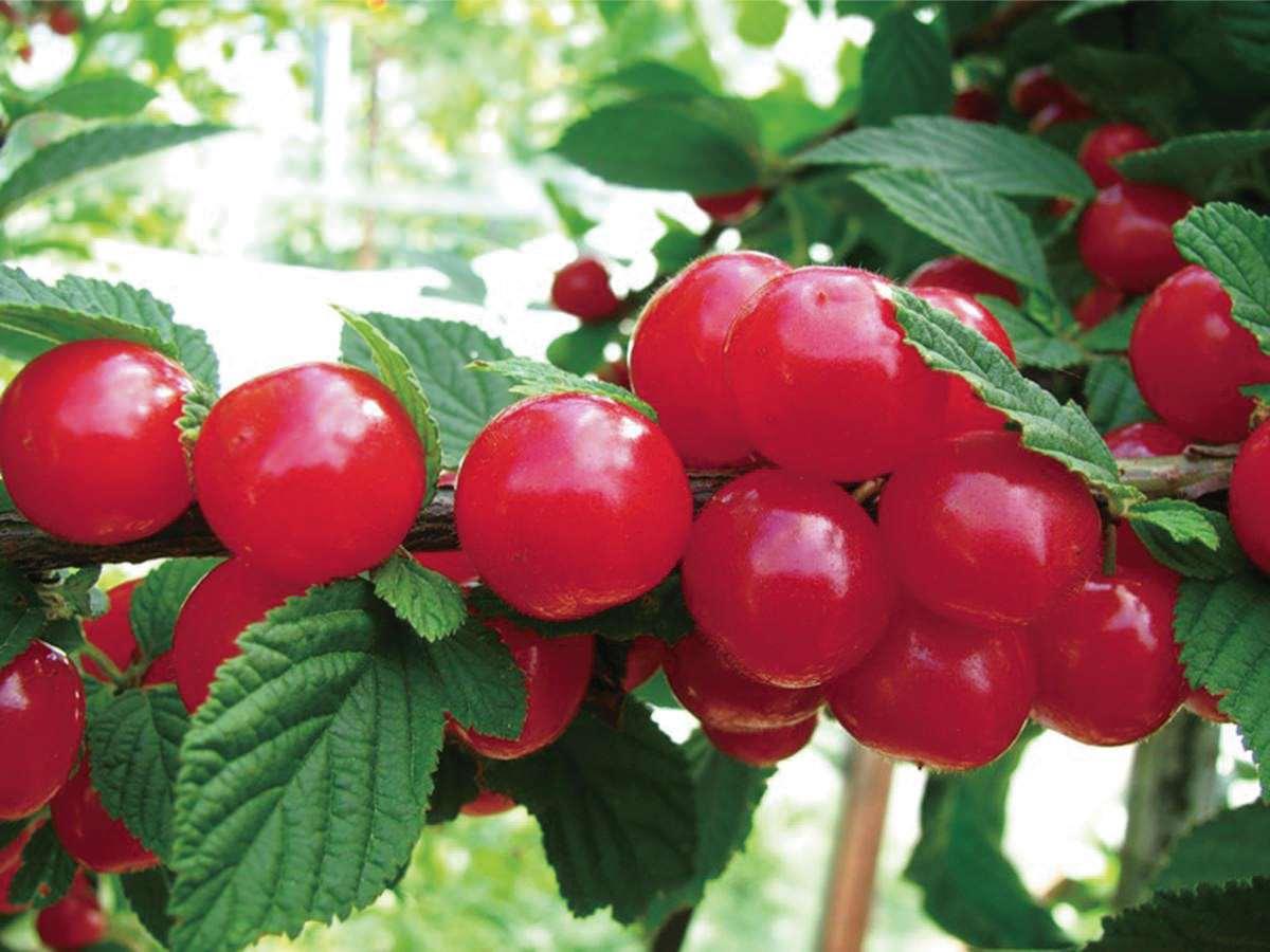 Лучшие самоплодные сорта вишни для Подмосковья отзывы