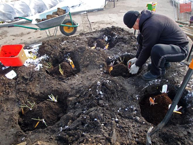 Осенью можно сажать розы как с открытой, так и с закрытой корневой системой