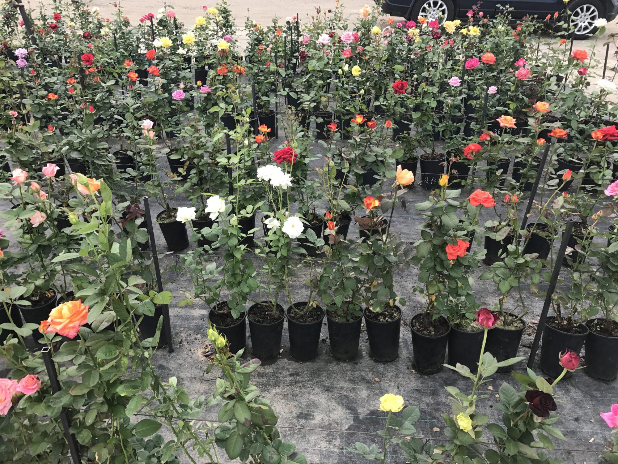 Осенью в питомниках представлен более широкий ассортимент роз для посадки