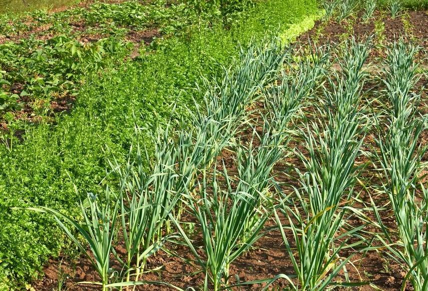 Правильно чередовать культуры в огороде очень важно, от этого во многом зависит хорошая урожайность