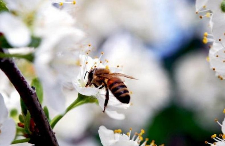 На фото: практически всю работу по опылению культуры проводят пчелы