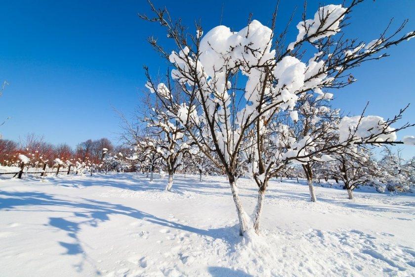 Черешневые деревья спокойно переносят русские морозы
