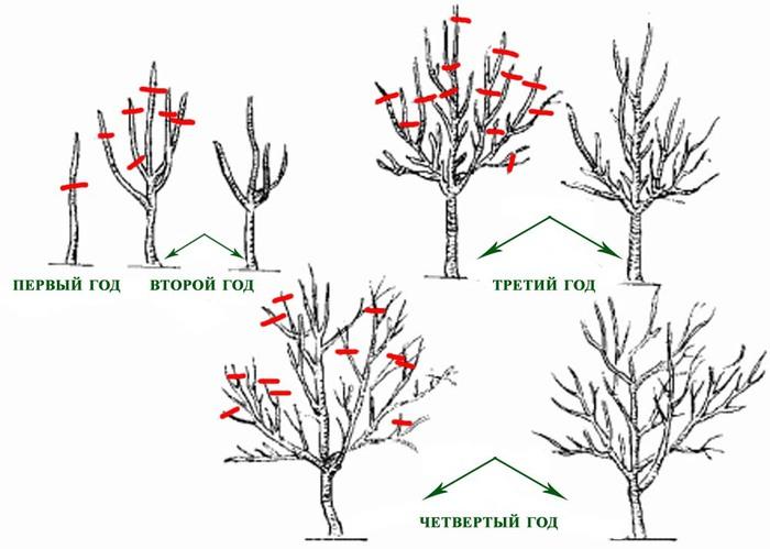 Обрезка сформирует компактное и урожайное плодовое дерево