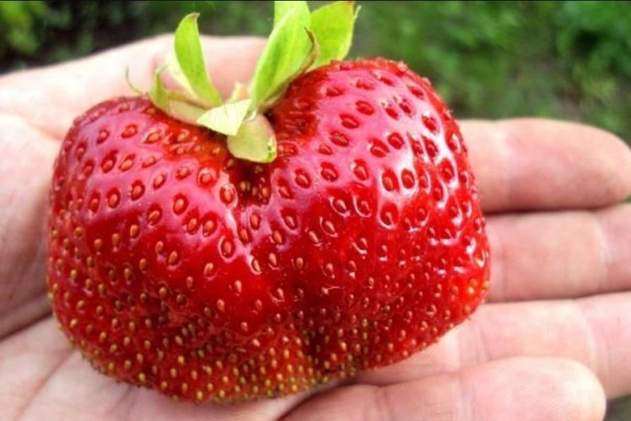 Сорт требователен к влаге и температурному режиму. При их соблюдении радует обильным урожаем крупных ягод