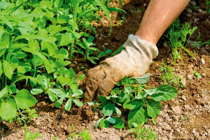 Все сорные травы нужно нещадно удалять с огорода, чтобы получить хороший урожай. Сорняки поглощают влагу, истощают почву, не дают разрастаться посадкам