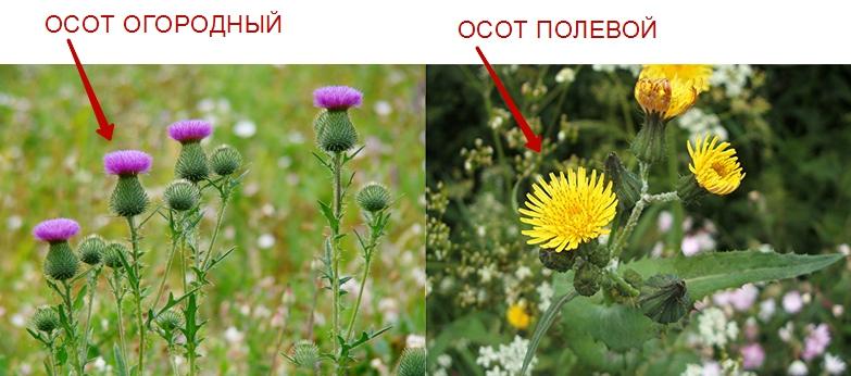 Например, у огородного осота — листья темно-зеленые с серым оттенком, цветы — темно-желтые. У розового осота — темно-розовые цветки в соцветии