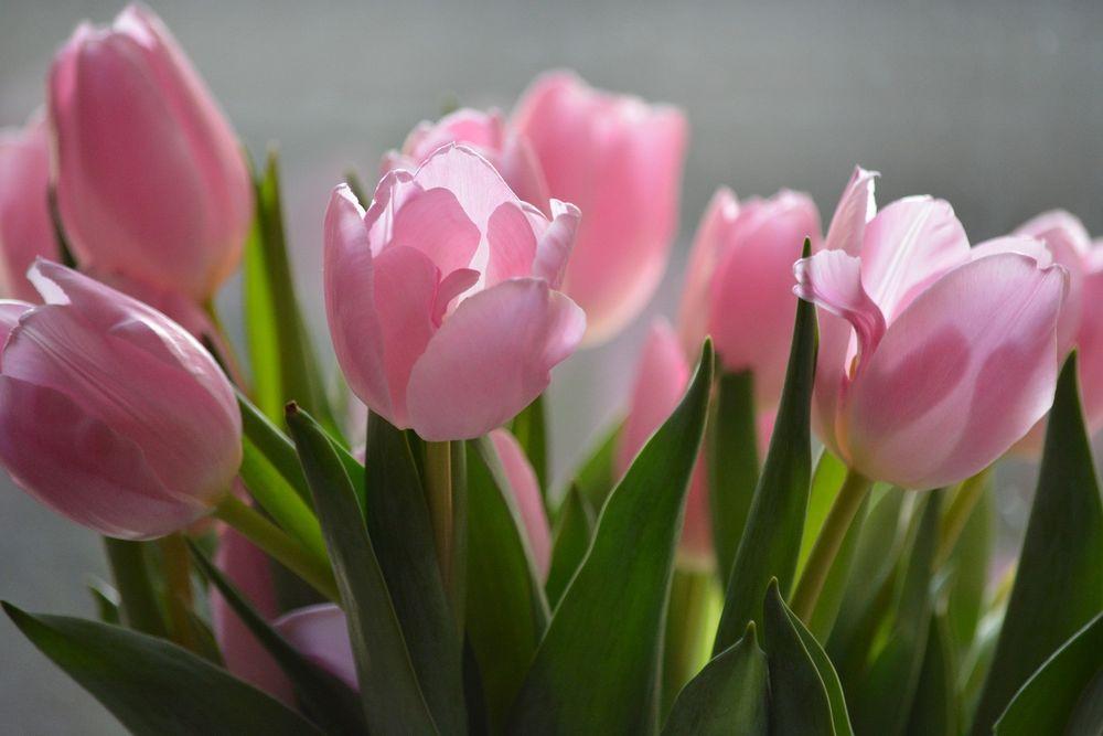 Во время формирования бутонов, тюльпаны подкармливают комплексным удобрением «Кемира-люкс»
