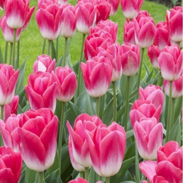 Розовые тюльпаны 20 фото описание сорта Колумбус и других сортов нежно-розового и бело-розового цвета
