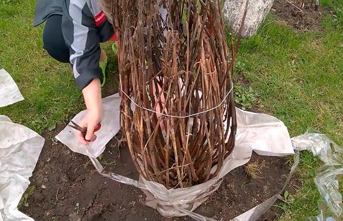 Надежное укрытие способно защитить растение от зимних морозов