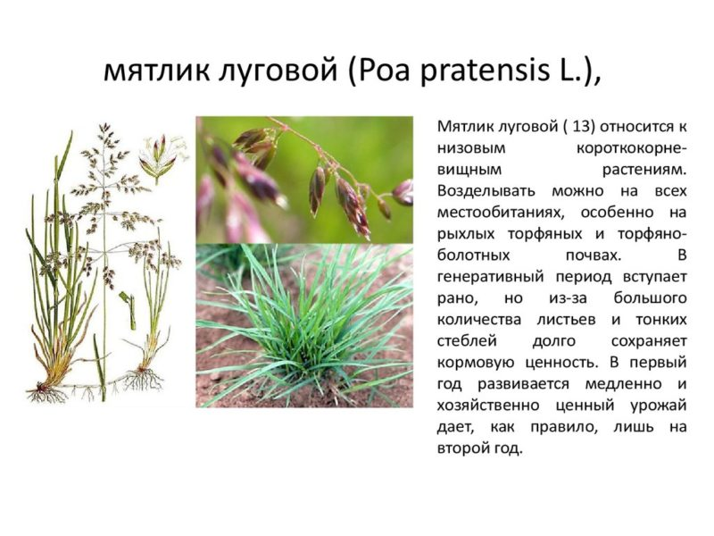 На фото — характеристики и описание растения мятлик луговой