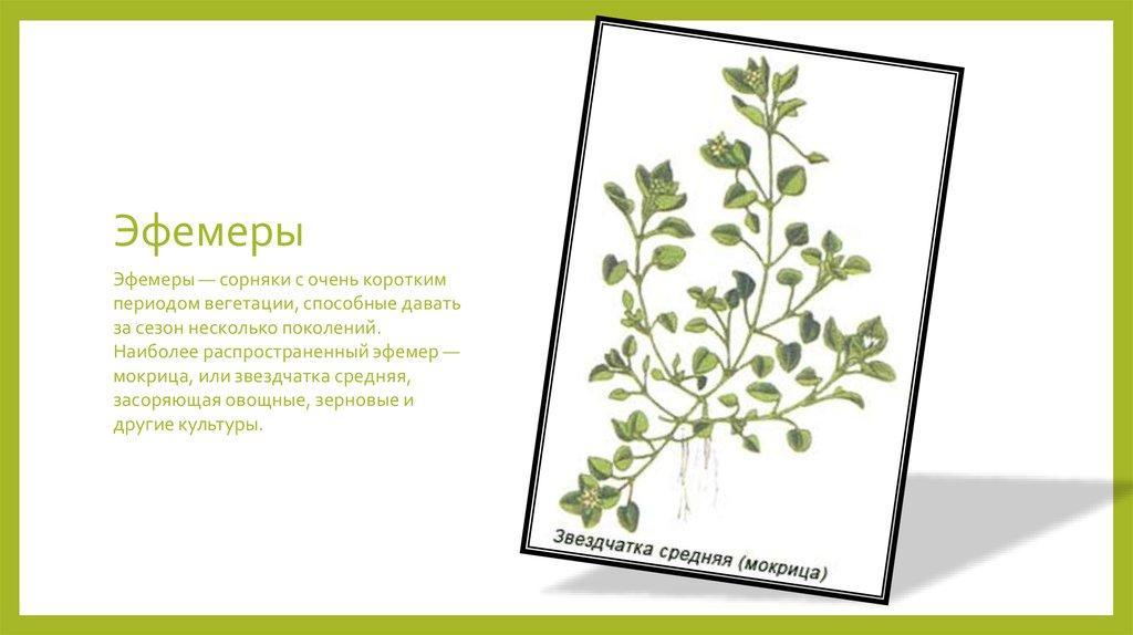 Звездчатка средняя или мокрица относится к эфемерам — злостный сорняк зерновых и овощных растений