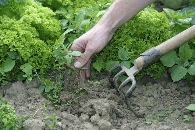 Колючий сорняк с длинным корнем