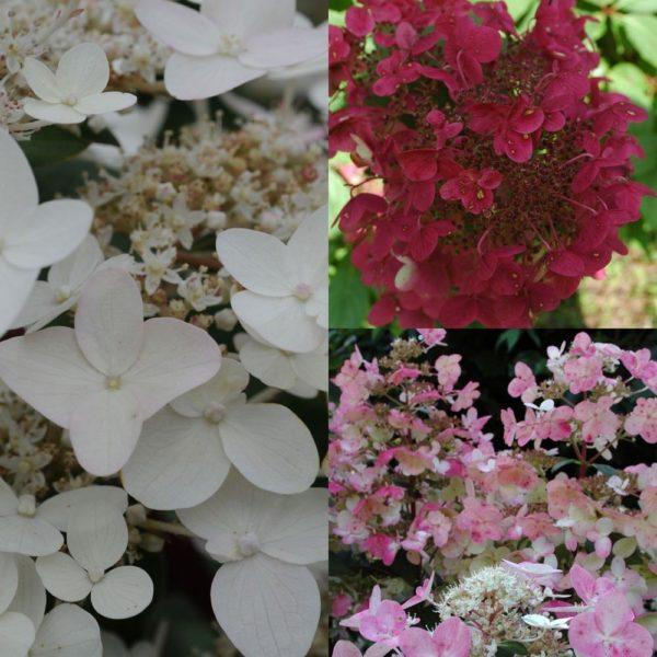 Необыкновенно крупное соцветия увенчано красивыми цветами меняющими окраску на протяжении всего сезона цветения