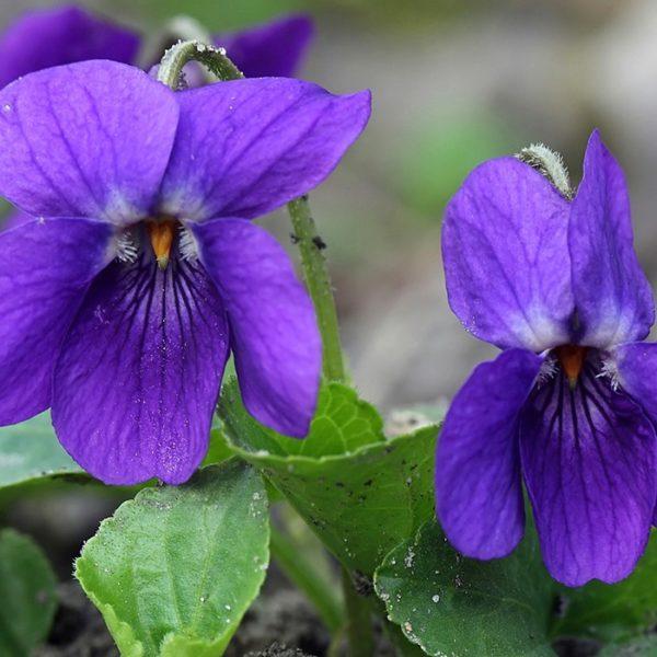 Латинское название фиалки Viola, в простонародье — веселые глазки или маткина душка. Самое распространенное название — анютины глазки. В дикой природе растет в средней полосе России, в горных районах, в Крыму