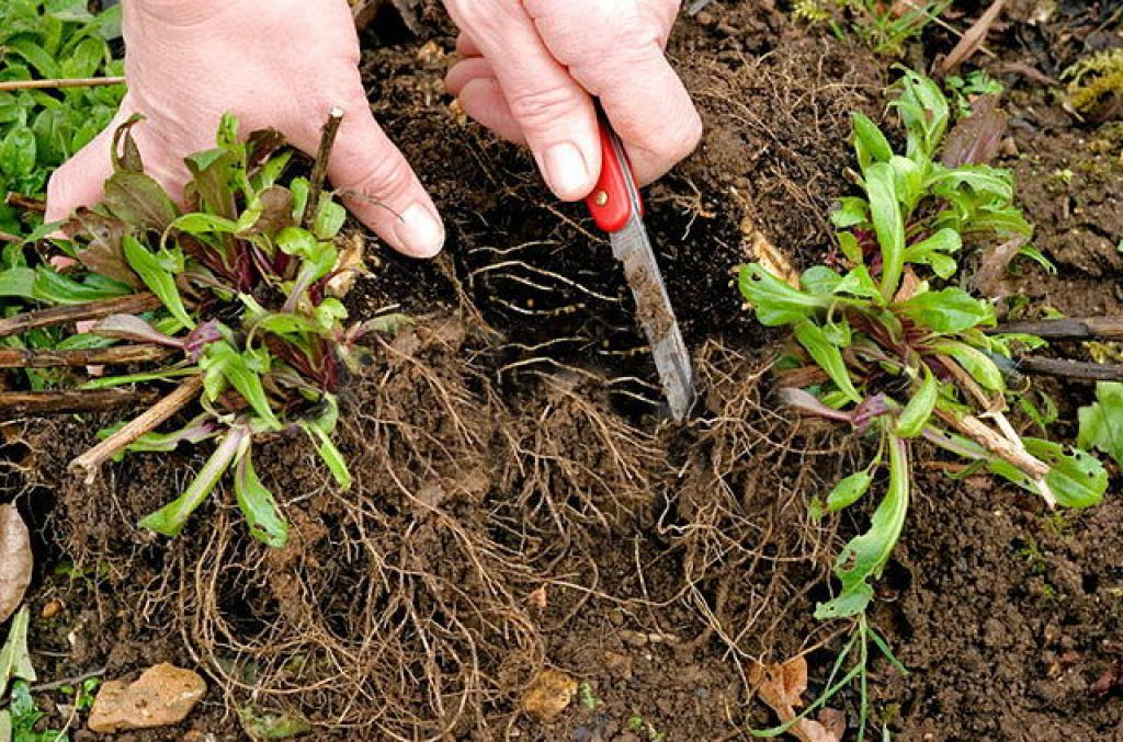 Самый простой и эффективный способ размножения — вегетативный — деление взрослого куста. Слабые стебли при рассадке куста удалите, оставьте только сильные и здоровые побеги