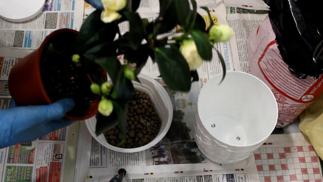 Камелия китайская - напиток с чайного куста