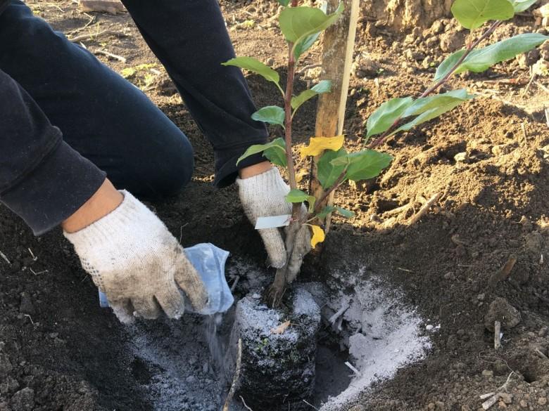 Древесная зола содержит фосфор и калий. Любители натуральных подкормок используют ее во время весенней перекопки или при непосредственной посадке